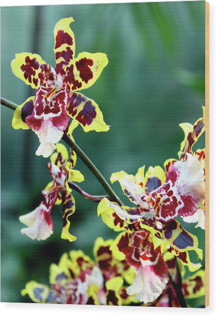 Striped Maroon And Yellow Orchid Wood Print