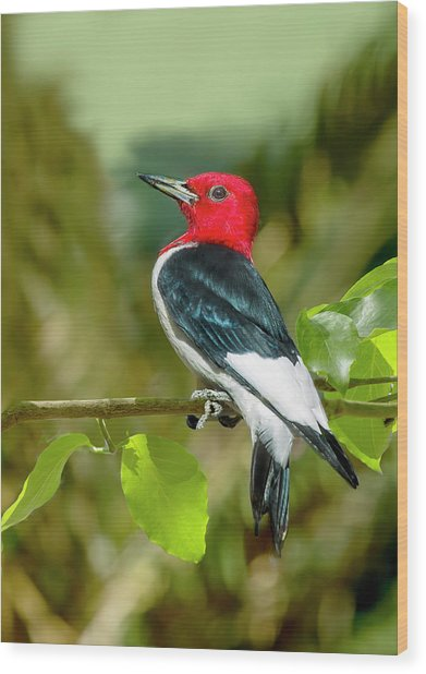 Red-headed Woodpecker Portrait Wood Print