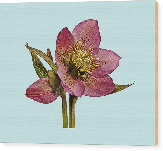 Wood Print featuring the photograph Red Hellebore Blue Background by Paul Gulliver