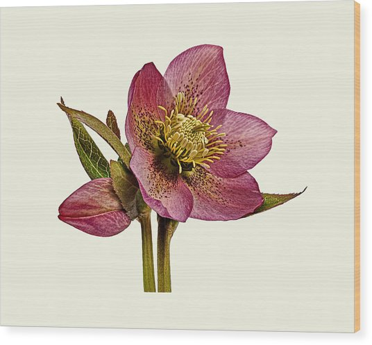 Wood Print featuring the photograph Red Hellebore Cream Background by Paul Gulliver