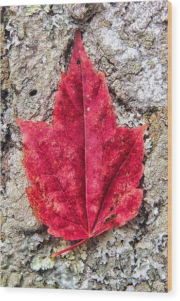 Red Leaf, Lichen 8797 Wood Print