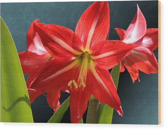 Red Lily Flower Trio Wood Print