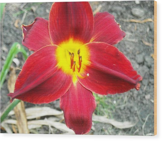 Red Lily Wood Print by Ward Smith