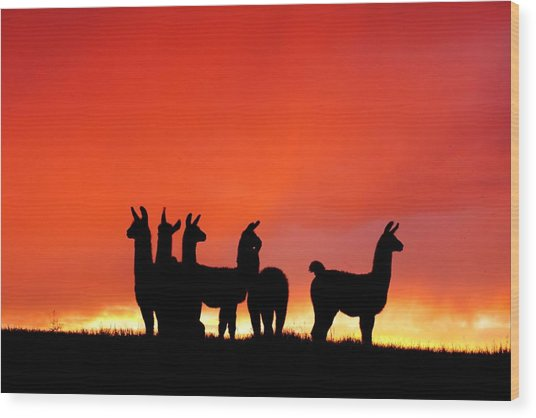 Red Llama Sunset 1 Wood Print