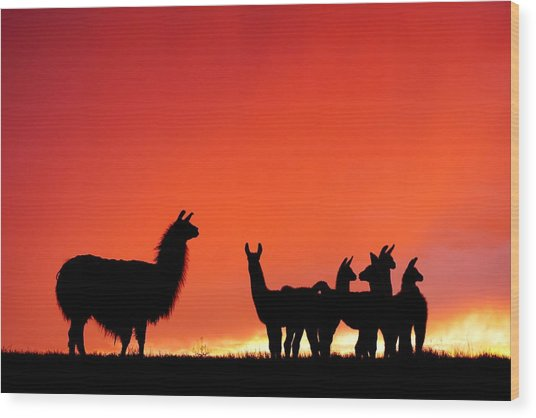 Red Llama Sunset 2 Wood Print