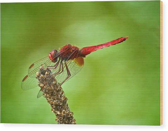 Red Male Dragonfly Crocothemis Erythraea Perching Wood Print by Igor Voljch