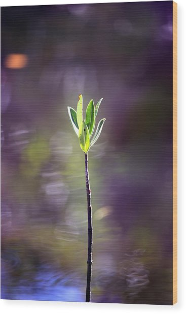 Red Mangrove Wood Print