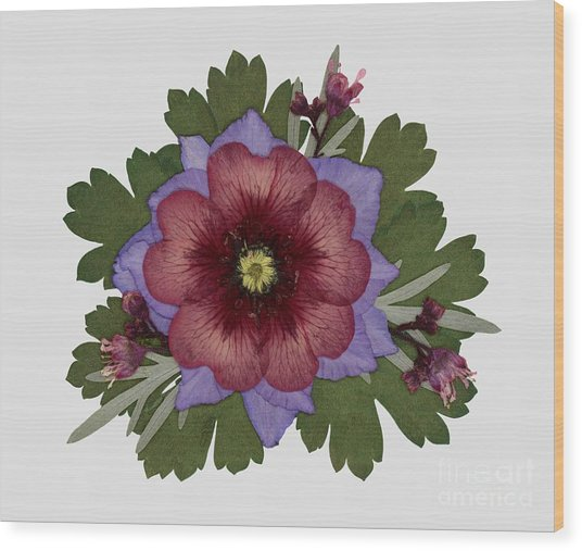 Red Open Faced Potentilla Pressed Flower Arrangement Wood Print