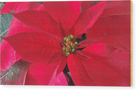 Red Poinsettia Wood Print