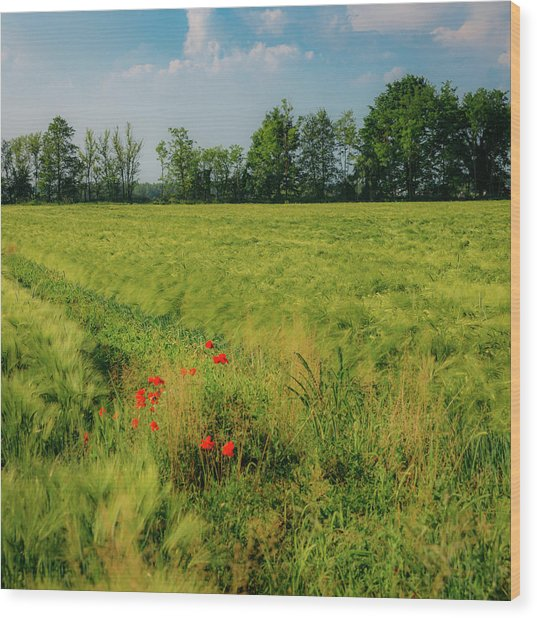Red Poppies On A Green Wheat Field Wood Print