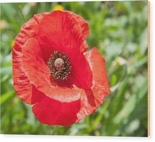 Red Poppy Flower Head Wood Print