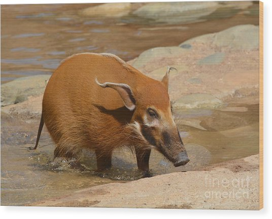 Red River Hog  Wood Print