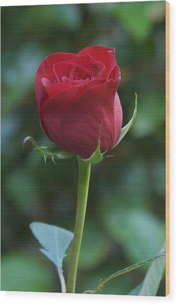 Red Rose 2 Wood Print by Susan Heller
