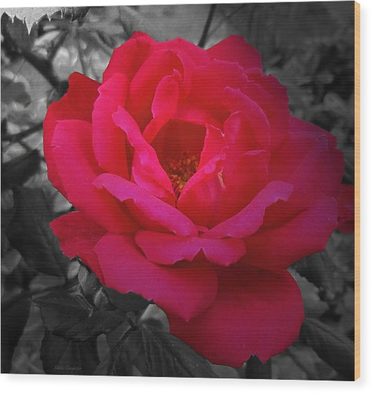 Red Rose On Black And White Wood Print