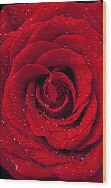 Red Rose With Dew Wood Print