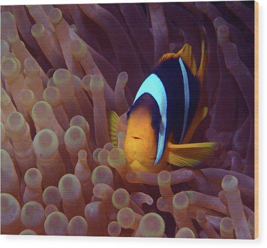 Red Sea Clownfish, Eilat, Israel 9 Wood Print
