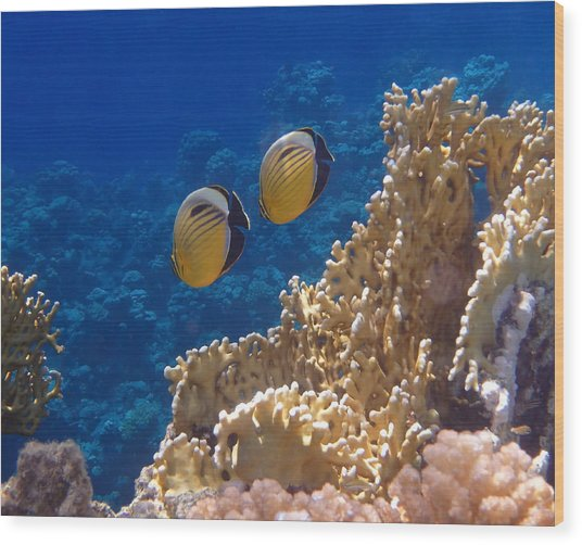 Red Sea Exquisite Butterflyfish  Wood Print