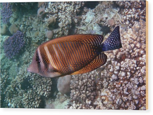 Red Sea Sailfin Tang 3 Wood Print