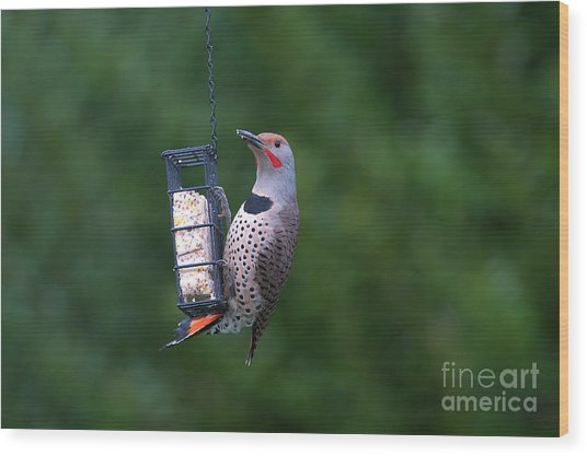 Red-shafted Northern Flicker On Suet Wood Print