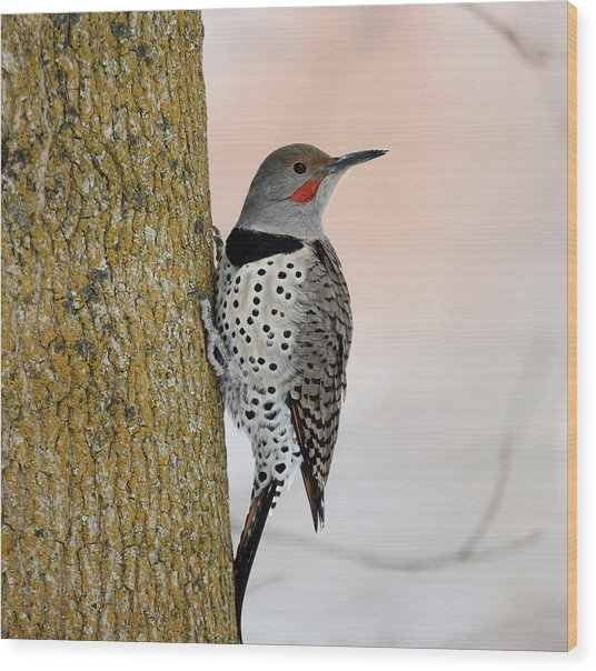 Red Shafted Northern Flicker Wood Print