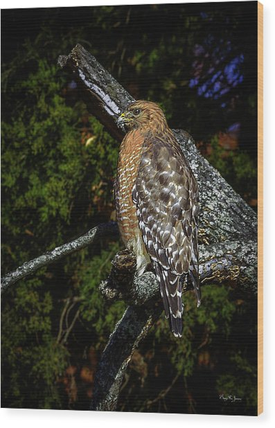 Red-shouldered Hawk Wood Print by Barry Jones