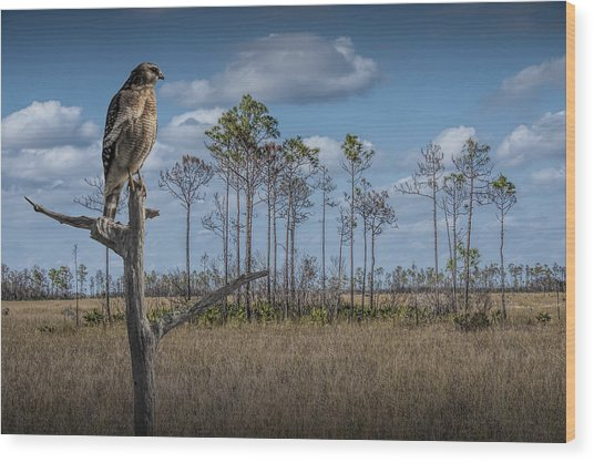 Red Shouldered Hawk In The Florida Everglades Wood Print