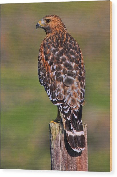 Red Shouldered Hawk Portrait Wood Print