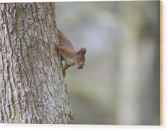 Red Squirrel Climbing Down A Tree Wood Print