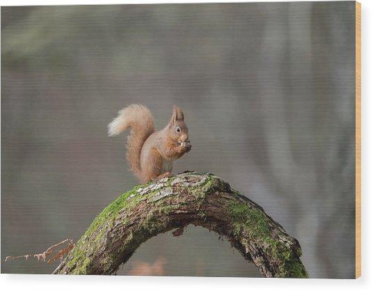 Red Squirrel Eating A Hazelnut Wood Print