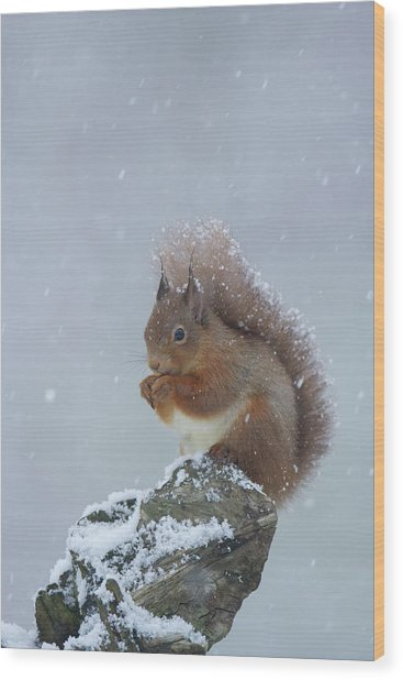 Red Squirrel In A Blizzard Wood Print