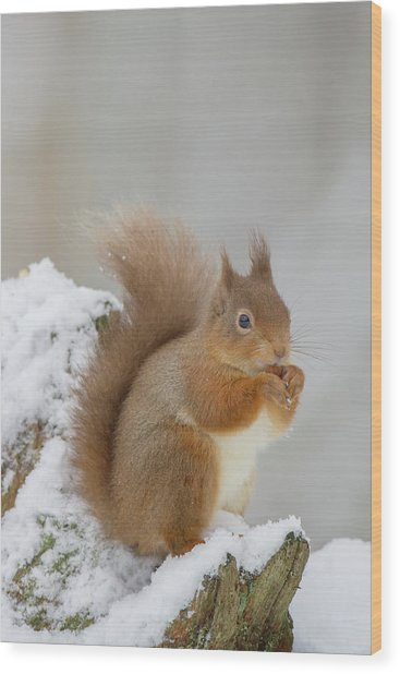 Red Squirrel In The Snow Side On Wood Print