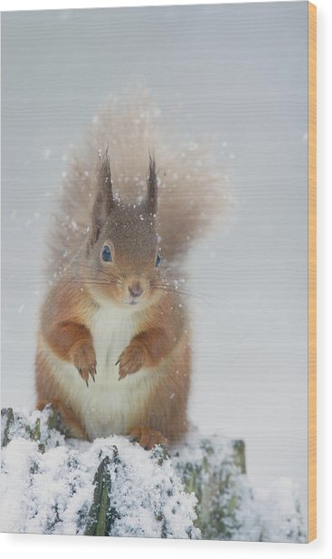 Red Squirrel In Winter Wood Print