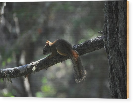 Red Squirrel Wood Print by John Ricker