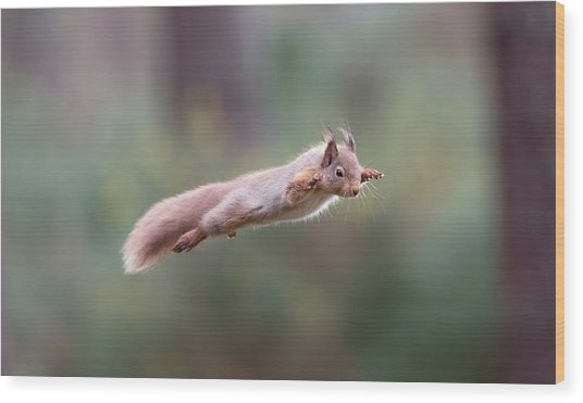 Red Squirrel Leaping Wood Print