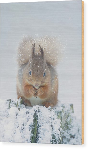 Red Squirrel Nibbles A Nut In The Snow Wood Print