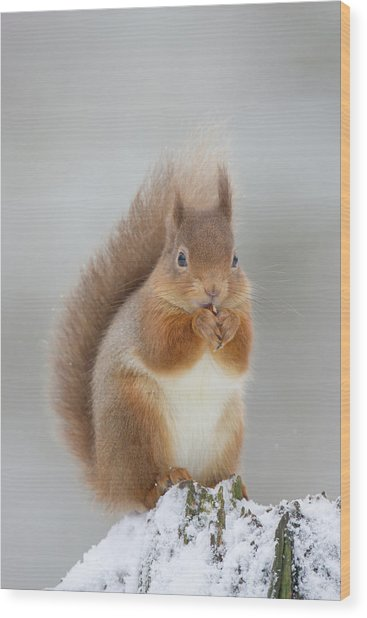 Red Squirrel Nibbling A Hazelnut In The Snow Wood Print