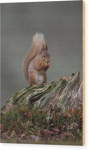 Red Squirrel Nibbling A Nut Wood Print