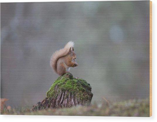 Red Squirrel Peeling A Hazelnut Wood Print