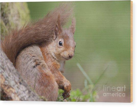 Red Squirrel - Scottish Highlands  #17 Wood Print