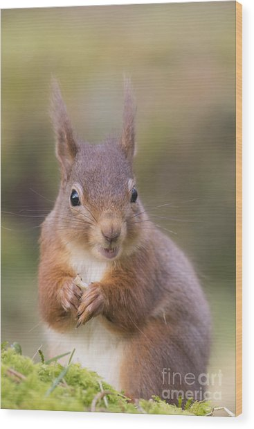 Red Squirrel - Scottish Highlands #18 Wood Print