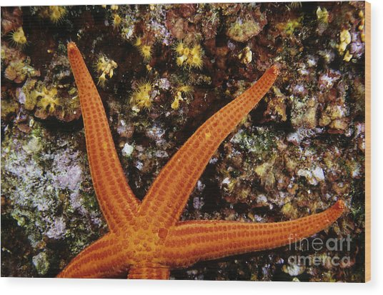 Red Starfish Clinging To A Rock Wood Print by Sami Sarkis