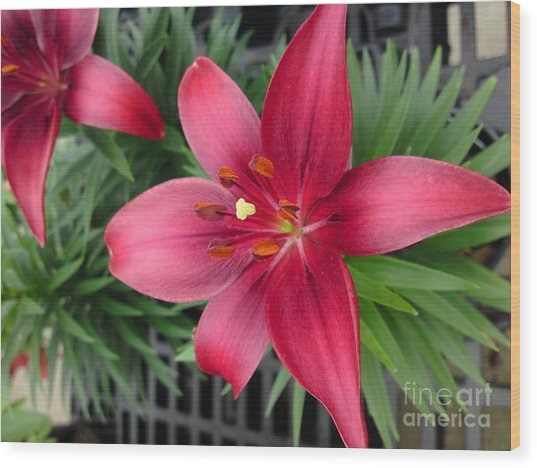 Red Stargazer Lily Wood Print by DebiJeen Pencils