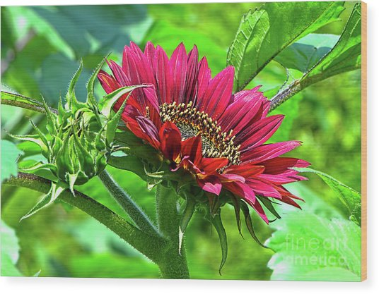 Red Sunflower Wood Print by Sharon Talson