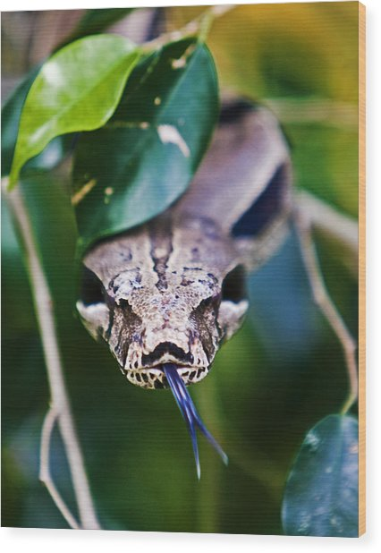 Red Tail Boa Wood Print