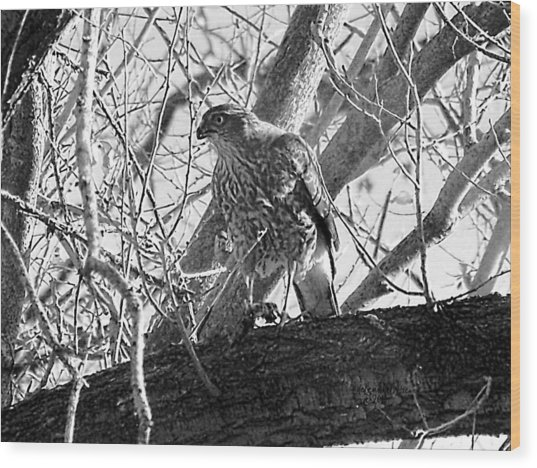 Red Tail Hawk In Black And White Wood Print