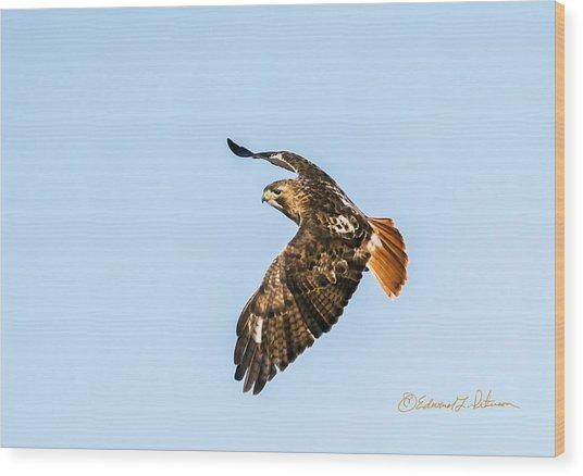 Red-tail Hawk In Flight Wood Print