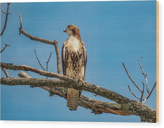 Red Tail Hawk Perched Wood Print