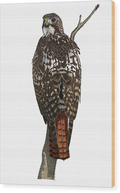 Red-tailed Hawk - Color Wood Print