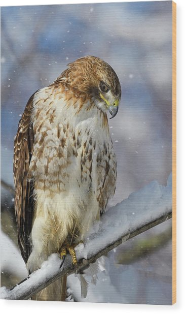 Red Tailed Hawk, Glamour Pose Wood Print