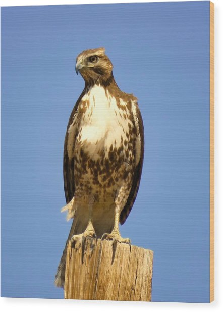 Red-tailed Hawk On Post Wood Print